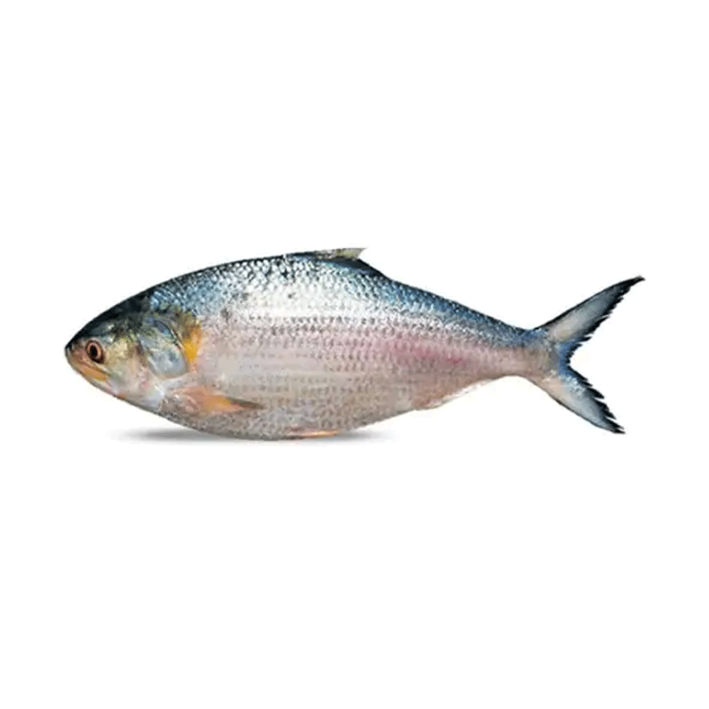 Hilsa/ Ilish Fish (Gross Weight 650 - 700Gm)