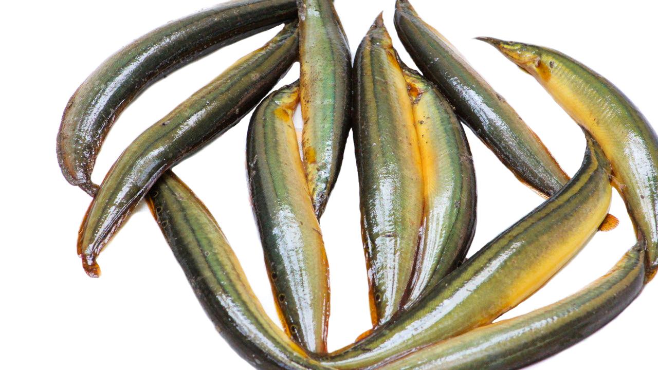 Pakal Fish